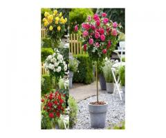 Trandafiri parfumatii,pomisor,urcatori-10+5 gratis - anunturi gratuite