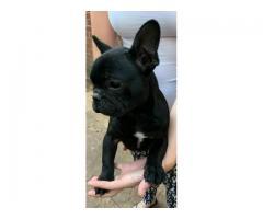 Puii Bulldogului francez pentru adopție